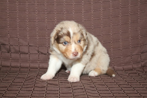 Red merle Rüde